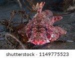California Scorpion Fish ...