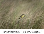 the western yellow wagtail ... | Shutterstock . vector #1149783053