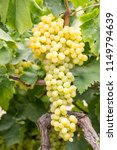 grapes field  vineyard  turkey...   Shutterstock . vector #1149794639