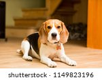an adult dog of the beagle... | Shutterstock . vector #1149823196