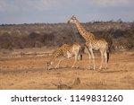giraffe  giraffa camelopardalis ... | Shutterstock . vector #1149831260