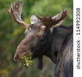 Bull Moose In Rocky Mountain...