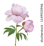 peony flowers isolated on white ... | Shutterstock . vector #1149925946