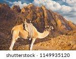 sinai mountain of moses egypt ... | Shutterstock . vector #1149935120