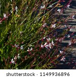 dainty elegant gaura species of ... | Shutterstock . vector #1149936896