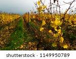autumn vineyard  yellow grape... | Shutterstock . vector #1149950789