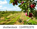 red apples hanging on tree | Shutterstock . vector #1149952370
