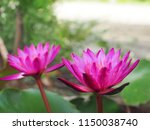 Two Pink And Purple Lotus Or...