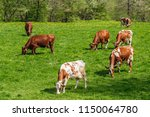 flock with dairy cows on a... | Shutterstock . vector #1150064780