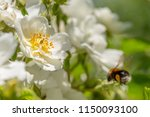 Wild White Rose Flowers With...