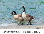 Molting Canada Goose  Branta...