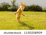 Stock photo ginger cat playing with shuttlecock on a green grass background 1150208909