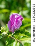 hibiscus syriacus  rose of...   Shutterstock . vector #1150232936