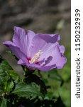 hibiscus syriacus  rose of...   Shutterstock . vector #1150232939