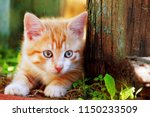 Stock photo cute little red kitten playing outdoor portrait of red kitten in forest or garden looking 1150233509