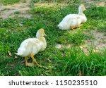 Small Domestic White Ducklings...