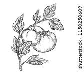 Tomato Plant Branch Engraving...
