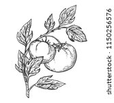 tomato plant branch engraving... | Shutterstock . vector #1150256576