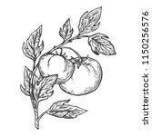 tomato plant branch engraving...   Shutterstock . vector #1150256576
