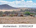 Herd Of Blesbok At Spionkop