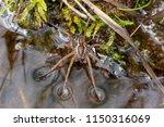 Raft Spider On Waters Edge...