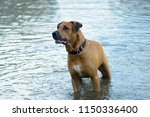 red dog bathes in the lake | Shutterstock . vector #1150336400
