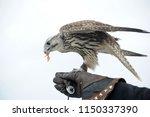 falcon glove on hand | Shutterstock . vector #1150337390