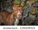brown american pit bull terrier | Shutterstock . vector #1150339523