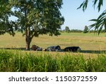 sleeping cows in the shade of a ... | Shutterstock . vector #1150372559