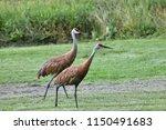 two beautiful sandhill cranes...   Shutterstock . vector #1150491683