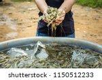 Pacific White Shrimp Shrimp Is...