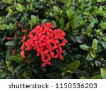 beautiful spike flower blooming ... | Shutterstock . vector #1150536203