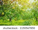 lemon garden  summer background | Shutterstock . vector #1150567850