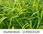 leaves in the wild  lush green. | Shutterstock . vector #1150613120