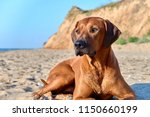 Small photo of Portrait of dog. Big brown Rhodesian ridgeback dog on the beach.