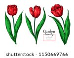 Tulip Flower And Leaves Drawing....
