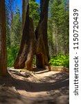 dead old sequoia tree trunk... | Shutterstock . vector #1150720439