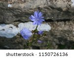 Chicory Growing By Old Stone...