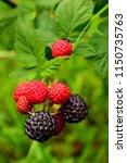 blackberries on the bush.... | Shutterstock . vector #1150735763