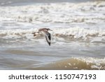 willet  tringa semipalmata  on... | Shutterstock . vector #1150747193