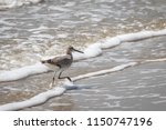 willet  tringa semipalmata  on... | Shutterstock . vector #1150747196