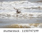 willet  tringa semipalmata  on... | Shutterstock . vector #1150747199