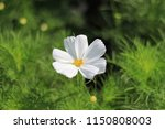 beautiful white cosmos flower... | Shutterstock . vector #1150808003