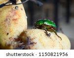 sternocera aequisignata...   Shutterstock . vector #1150821956