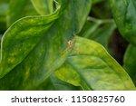 araneae organized as a living... | Shutterstock . vector #1150825760