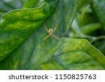 araneae organized as a living... | Shutterstock . vector #1150825763