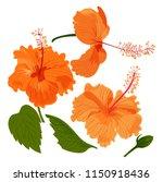 shoe flower  hibiscus  chinese ... | Shutterstock .eps vector #1150918436