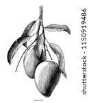 mango branch hand draw vintage... | Shutterstock .eps vector #1150919486
