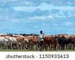 African Cattle Herd Being...