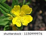 oenothera biennis  common... | Shutterstock . vector #1150999976